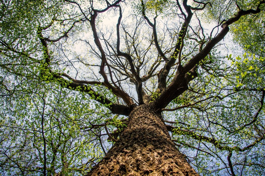 kuvituskuva puu