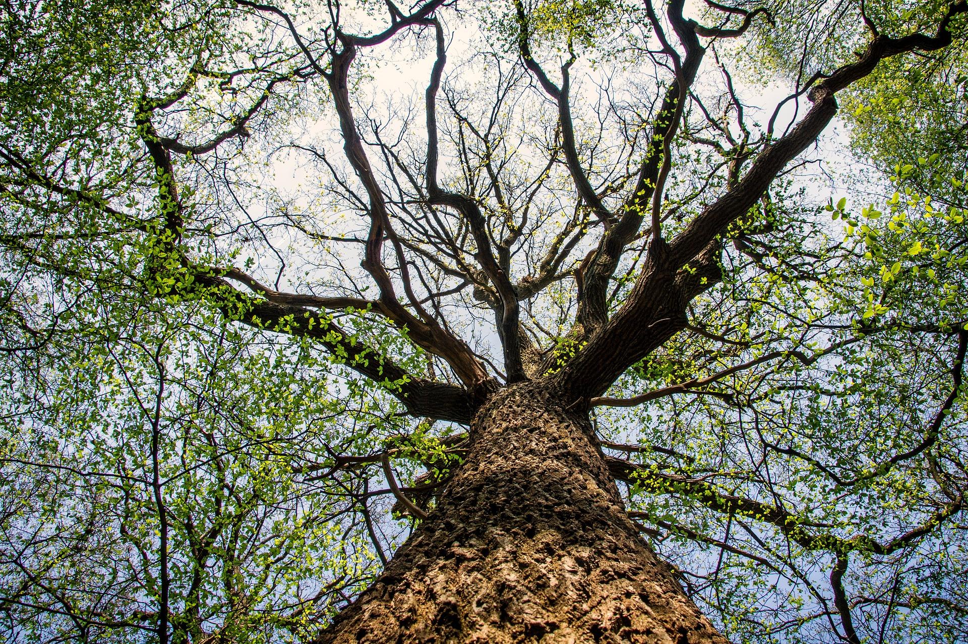 kuvituskuva vanha ja suuri puu.